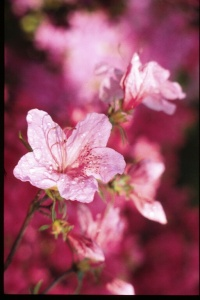 These are azalea blossoms, but they sort of look like japonicas . . . sorta.