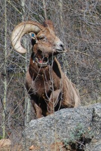 Judging by the collar on this Big Horn sheep where I was hiking in Colorado, someone's interested in how this guy fits into the ecosystem.  I'm glad!